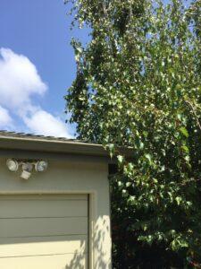 Tree overhanging roof